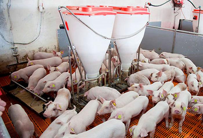 Sistemas de Alimentación de Cerdos de las Granjas Porcinas modernas