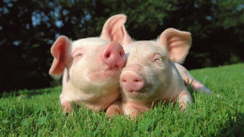 CONTROL AMBIENTAL en la producción porcina NUEVAS TABLAS DE VENTILACION