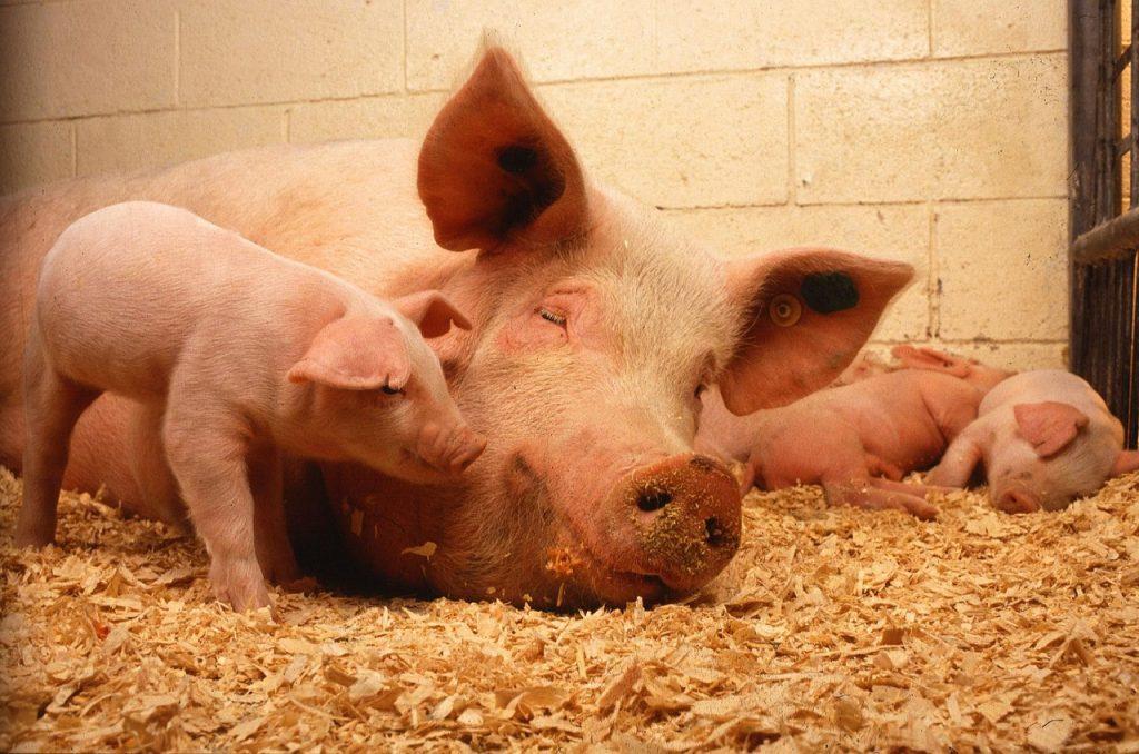 4 cosas importantes en granjas de cerdo y de coste 0