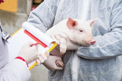 Estrés por calor en cerdos y sus consecuencias