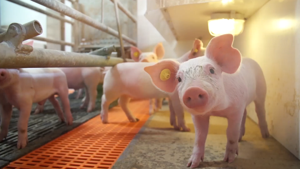 Tecnologías aplicadas, nutrición para cerdos y calidad en la carne