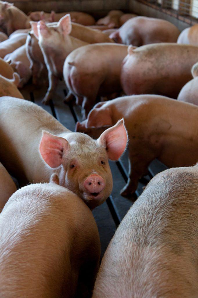 La clave para potenciar la productividad de tus cerdos