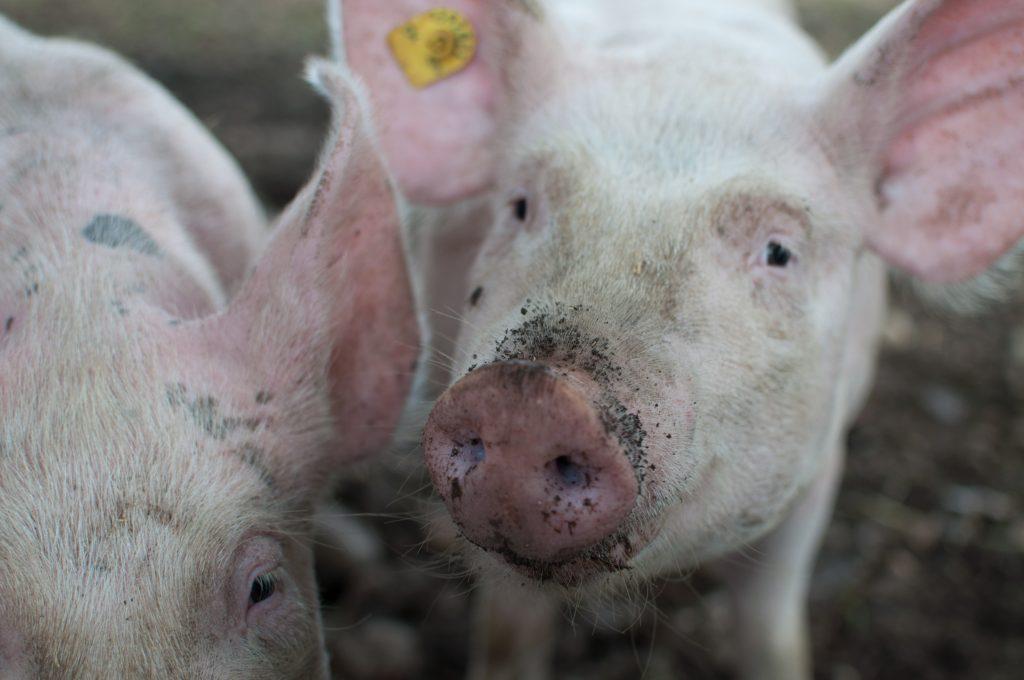 Bajar los Niveles de Agresión en la Cría de Cerdos