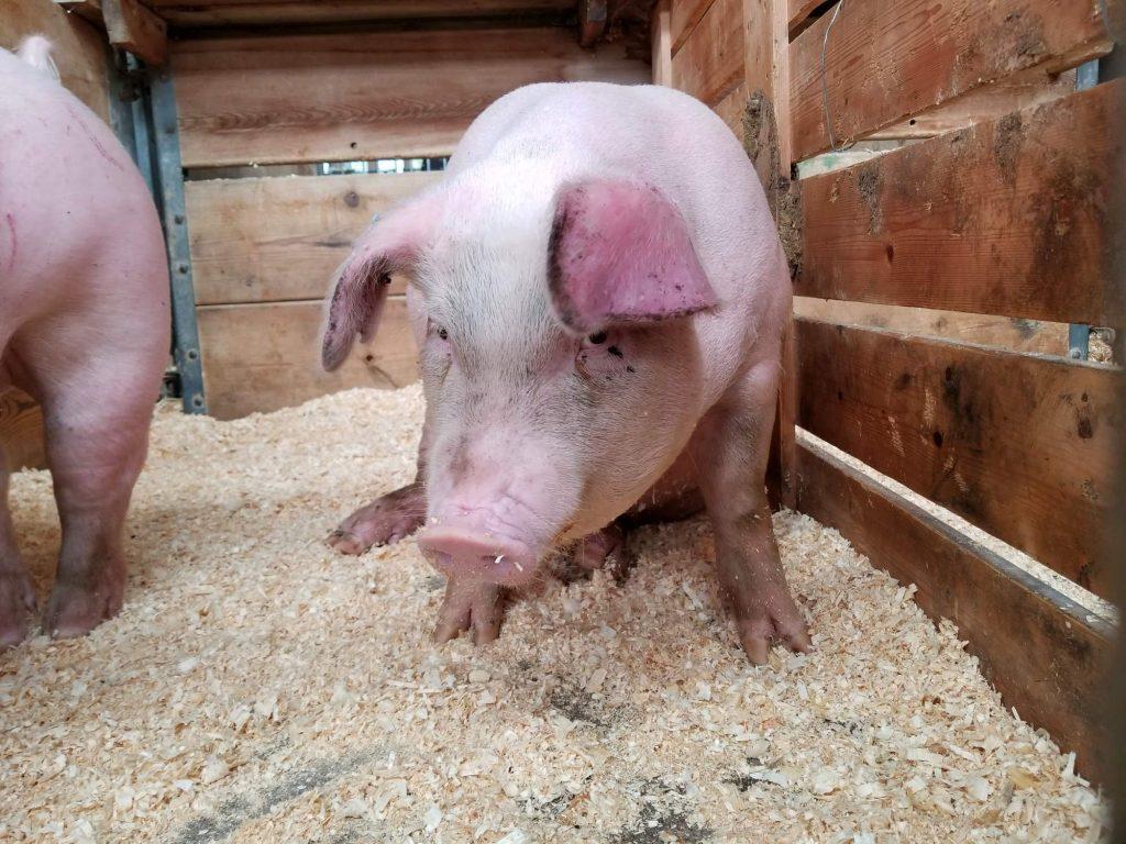 6 claves: La revolución llegó a las granjas con la porcicultura de precisión