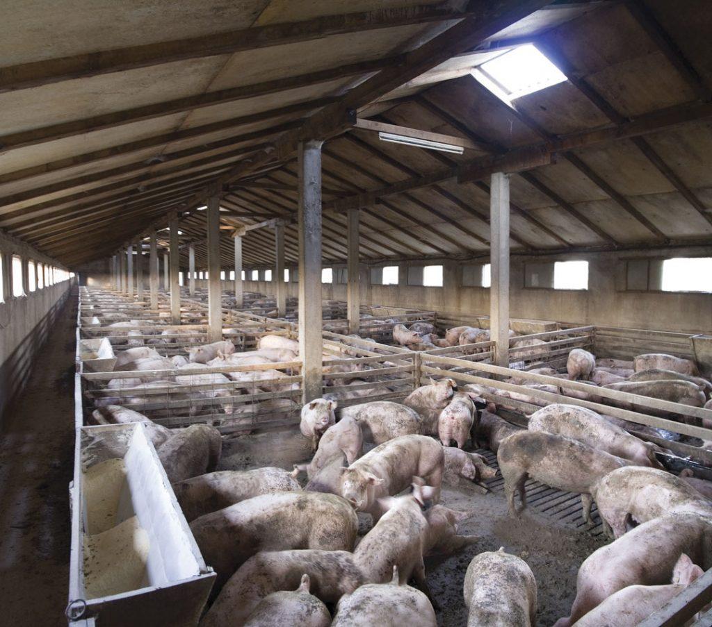 Sorting: Eficiencia en el engorde de cerdos en grupos grandes