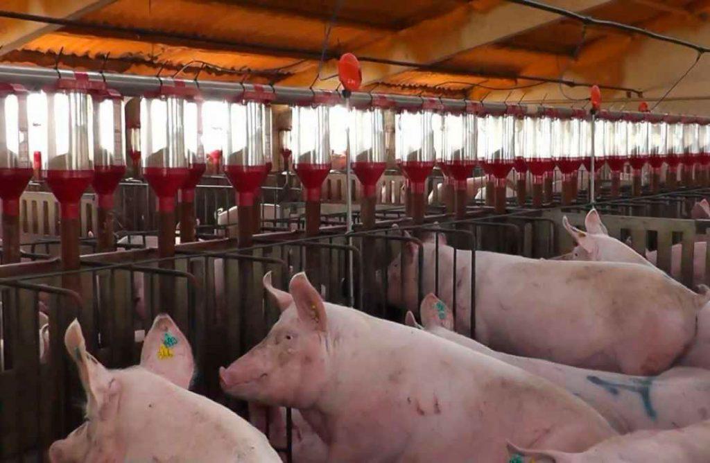 Implementar con éxito la Gestación en Grupo de Cerdos