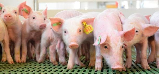 ¿Cómo reducir el estrés por calor en cerdos?