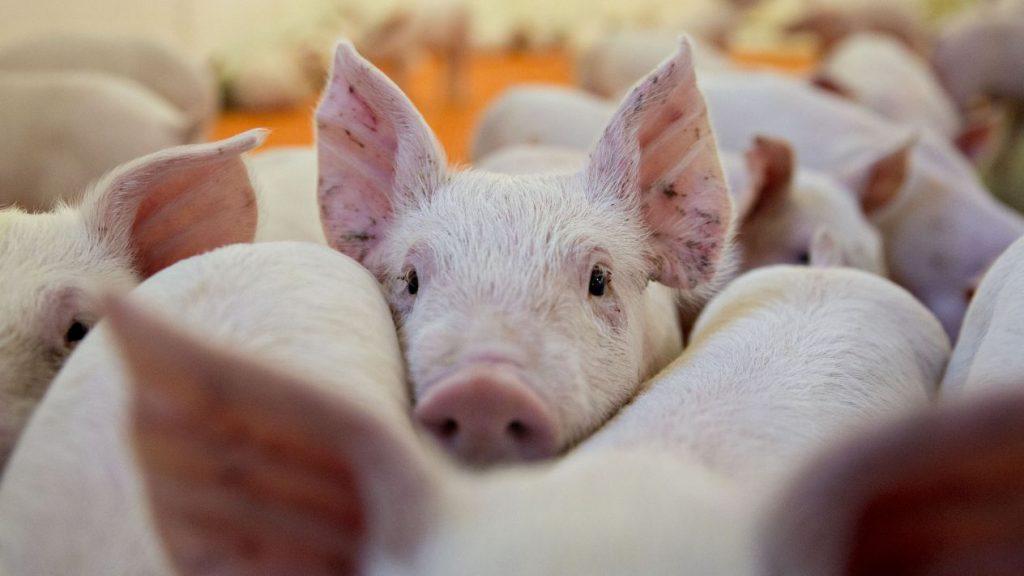 ¿Por qué cerdos?